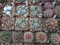 echinocactusy_thelocactusy_201206